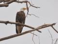 Bald-Eagle-3.jpg
