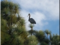 Blue Heron in tree.jpg