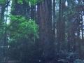 redwood-sm.jpg
